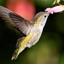 HummerFun 68 by Raphael RaCcoon - Animals Fish ( hummingbird )