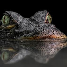 Death-dealing by Michael Milfeit - Animals Reptiles ( alligator, crocodil, hechtalligator, alligator mississippienssis, , sea creatures, underwater life, ocean life )
