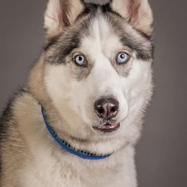 by Myra Brizendine Wilson - Animals - Dogs Portraits ( canine, dogs, pet, pets, dog, foster aspen, aspen, who,  )