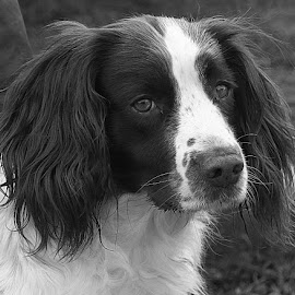 Pops in B&W by Chrissie Barrow - Black & White Animals ( monochrome, black and white, female, pet, fur, ears, dog, mono, nose, portrait, eyes, animal )