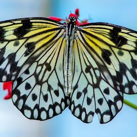 by Domingo Washington - Animals Insects & Spiders ( butterfly, macro, butterflies )
