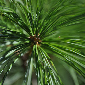 The End of the Branch by Kristina Weber - Nature Up Close Leaves & Grasses ( white pine, green, needles, pine, sunlight )