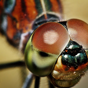 by Andy Teoh - Animals Insects & Spiders ( macro, dragonfly, insects, close up, animal )