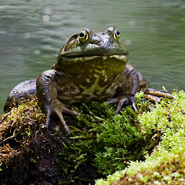 King of the Pond by Rod Schrader - Animals Amphibians