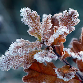 Frosty Oak by Chrissie Barrow - Nature Up Close Leaves & Grasses ( nature, autumn, oak, white, frost, brown, leaves, bokeh, closeup )