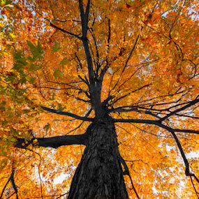 Up into Fall by RomanDA Photography - Nature Up Close Trees & Bushes ( orange, red, tree, color, fall, leaves )