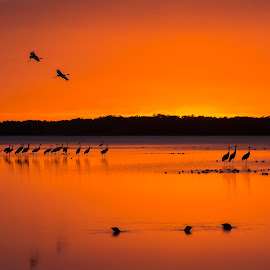 Arriving Sandhill Cranes by Joe Saladino - Landscapes Sunsets & Sunrises ( water, roosting birds, sunset, birds, sandhill cranes )
