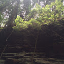 Canadian Hemlock