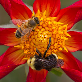by Jim Jones - Animals Insects & Spiders ( flowers, dahlia, nature, dahlias, colorful, flower )