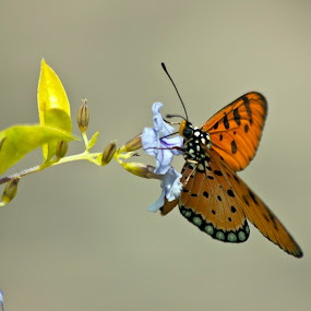 Butterfly by Md Mukibul Islam - Animals Insects & Spiders ( butterfly, wildlife, insects )