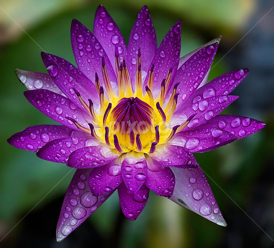 by Mark Anthony Bansag - Flowers Single Flower
