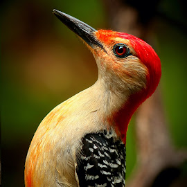 Male Red Bellied Woodpecker  by Paul Mays - Animals Birds