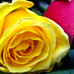 Red and Yelow  by Daril Sugito - Nature Up Close Flowers - 2011-2013