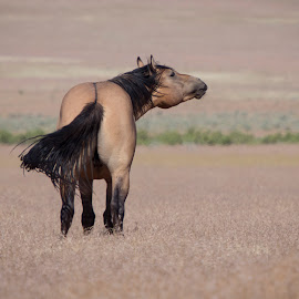 Catching a Scent by Susan Ward - Animals Horses ( wild horse, mustang, onaqui mountains, equine, horse )