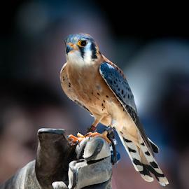 Kestrel by Darren Sutherland - Animals Birds