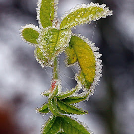 Edged with Ice by Chrissie Barrow - Nature Up Close Leaves & Grasses ( nature, green, ice, white, frost, leaves, bokeh, closeup )