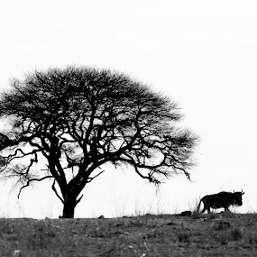 Wildebeest by VAM Photography - Animals Other Mammals ( b&w, wildebeest, nature, tanzania, landscape, mammal, animal )