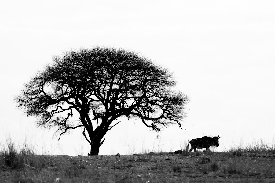 Wildebeest by VAM Photography - Animals Other Mammals ( b&w, wildebeest, nature, tanzania, landscape, mammal, animal,  )