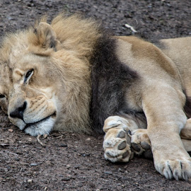 Out Cold For a Nap by Thomas Shaw - Animals Lions, Tigers & Big Cats ( cat, loin, male, feet, sleep, mammal, north carolina, eyes, north carolina zoo, hairy, zoo, paw, fur, paws, nose, hair,  )
