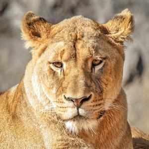 Lioness-1.jpg