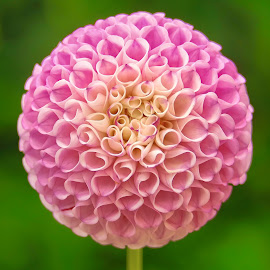 Pink Dahlia Mum #7 by Jim Downey - Flowers Single Flower ( pink, cells, white, dahlia, purple, petals )