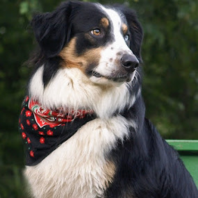 Drover by Christy Borders - Animals - Dogs Portraits ( farm, herding dog, summer, english shepherd )
