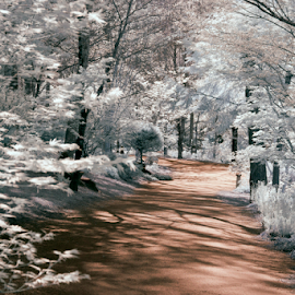 by Donna Neal - Landscapes Forests ( path, infared, forest )