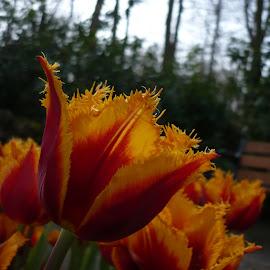 Tulip by Tony Baino - Nature Up Close Other plants