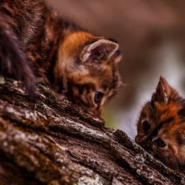 Standoff by Eugene Linzy - Animals - Cats Kittens ( playing, torties, cats, tree, kittens )