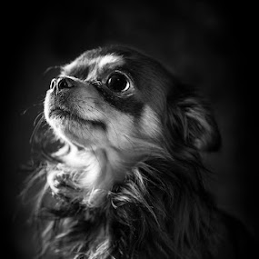Regal by Amber Johnston - Animals - Dogs Portraits