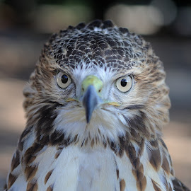 Eyes to Eyes by Bencik Juraj - Animals Birds ( bird, bird of prey, eyes, birding )