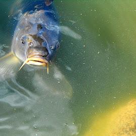 I am so hungry... by Daniela Fluerasu - Animals Fish ( fish, big, hungry )