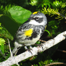 Yellow-rumped Warbler by Erika  Kiley - Novices Only Wildlife ( bird, summer, forest, vermont, warbler )