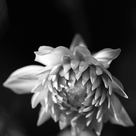 Isolation by Mary O'Brien - Novices Only Flowers & Plants ( novice, sadness, black and white, isolation, flower )