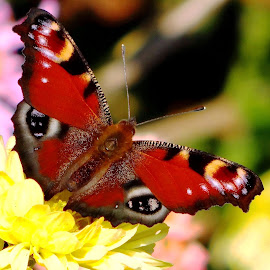 butterfly in the garden chrysanthemums by Dubravka Penzić - Animals Insects & Spiders