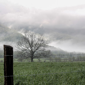 Always Strong by Angela Taylor - Uncategorized All Uncategorized ( mountains, foggy, tree, fog, bay, tennessee, bare tree, proud tree, cades cove,  )