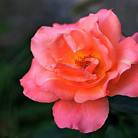 Pink Rose by Muhammad Amin Zia - Nature Up Close Flowers - 2011-2013