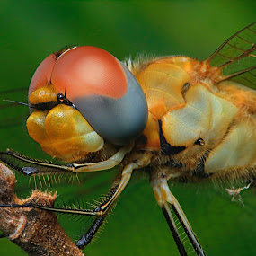 Dragonfly by Firmansyah Goma - Animals Insects & Spiders ( dragonfly,  )