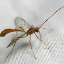 Enicospilus Wasp