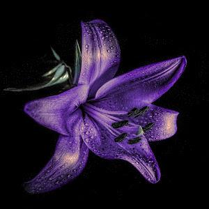 Purple lily.jpg