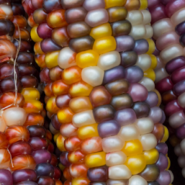 Variegated Indian Corn by Kenneth Keifer - Nature Up Close Gardens & Produce ( fancy, decorative, colorful, maize, variation, yellow, corn, halloween, multicolored, decor, macro, variegated, nature, autumn, corn on the cob, gold, closeup, september, silk, orange, indian maize, november, purple, decoration, colors, agriculture, indian, thanksgiving, variety, cereal, rows, many, ornamental, genetics, amazing, season, indian corn, grains, kernels, fall, several, ears, crops, cob, october, harvest, vegetable, rainbow, golden, produce )