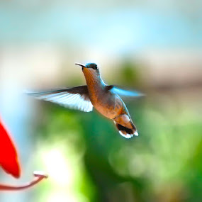 Hummingbird Moments by Karen Santilli - Animals Birds ( bird, hummingbird )