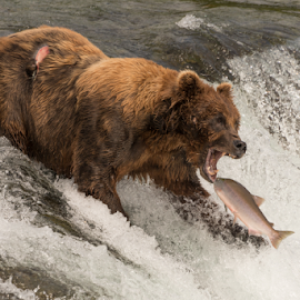 Bear about to catch salmon in mouth by Nick Dale - Animals Other Mammals ( water, grizzly, bear, animals, fish, waterfall, alaska, brooks falls, wildlife, brooks camp, katmai, brown bear, predator, falls, salmon, fishing, catching, grizzly bear, river )