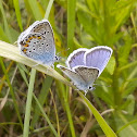 Common blue/Голубяка Икар