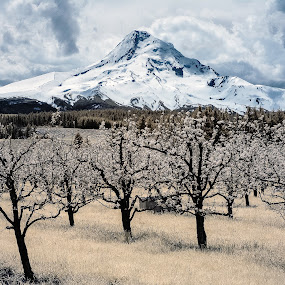 Mount Hood & Pear Orchard by Gordon Banks - Landscapes Mountains & Hills