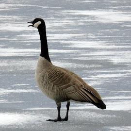 ICE TREK by Cynthia Dodd - Novices Only Wildlife ( animals, nature, ice, wildlife, goose )