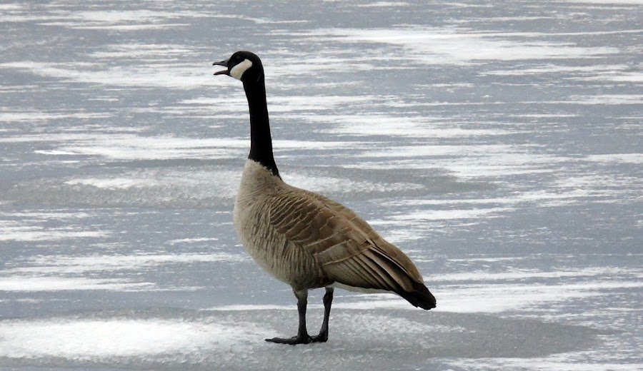 ICE TREK by Cynthia Dodd - Novices Only Wildlife ( animals, nature, ice, wildlife, goose )