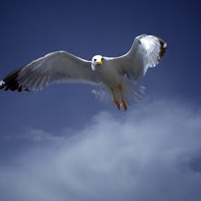Seagull on my mind. by Aurel Virlan - Animals Birds