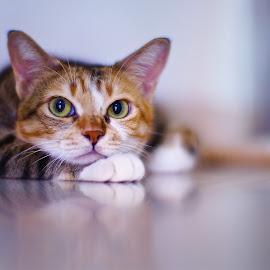 Dreaming by Sim Kim Seong - Animals - Cats Portraits