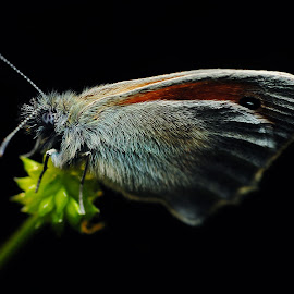 Butterfly by Jan Kršinar - Animals Insects & Spiders ( butterfly, macro, close up, black )
